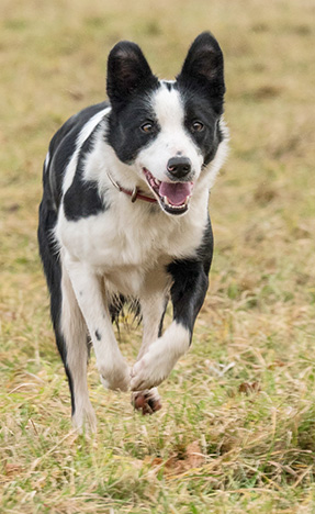 Rosie - Border Collie