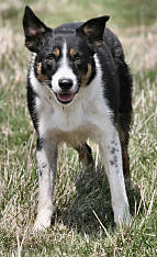 BBRoy, Border Collie